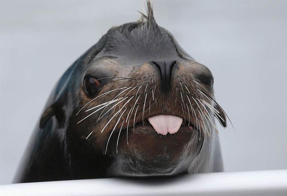 Морской лев по кличке Осборн во время мероприятия, посвященному открытию аквариума в Бруклине, Нью-Йорк