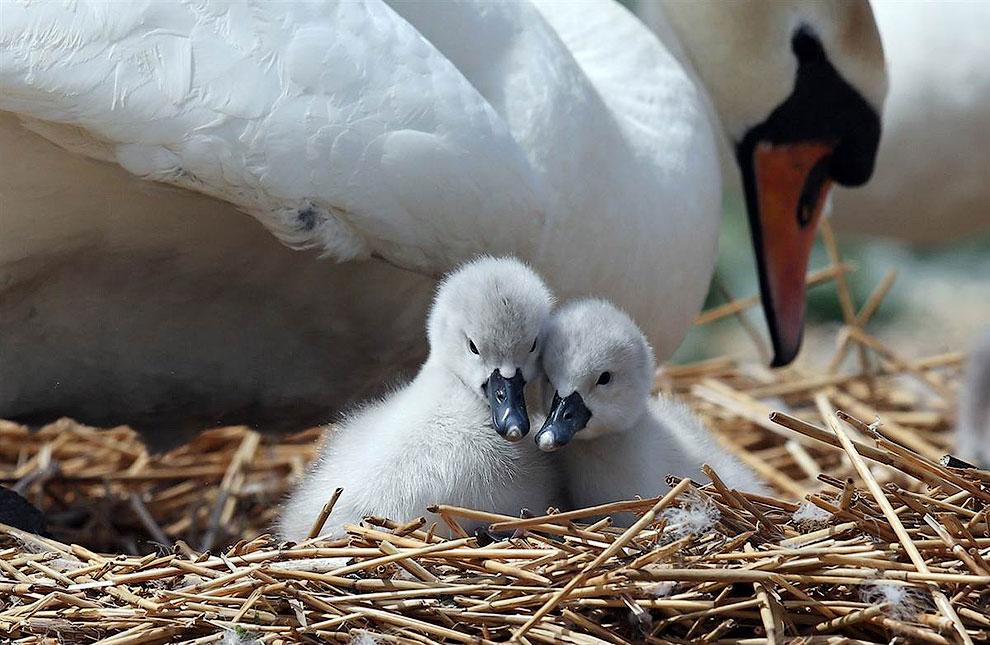 Маленькие лебеди в гнезде в Уэймут, Англия