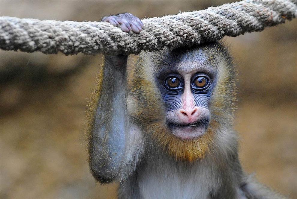 Мандрил из зоопарка в Дрездене