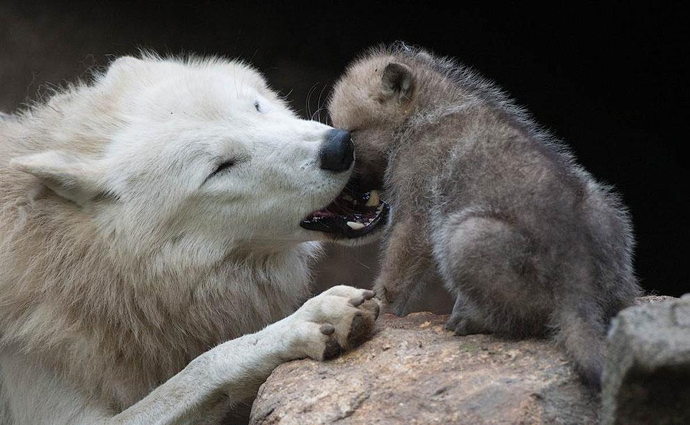 Волк и волчонок в зоопарк Берлина