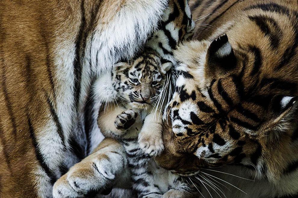 Это амурские тигры — самые большие и сильные кошки в мире