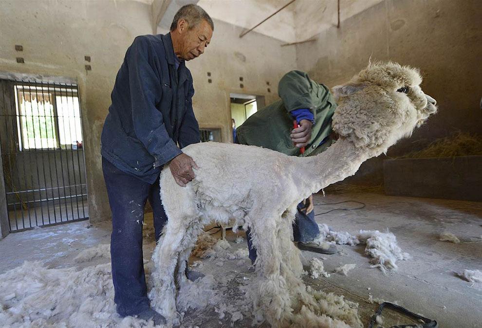 Фермеры постригают альпак в зоопарке в китайском округе Шицзячжуан
