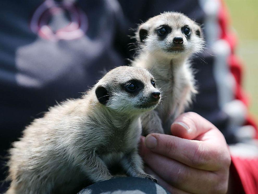 Сурикаты из зоопарка в городе Аахен, Германия