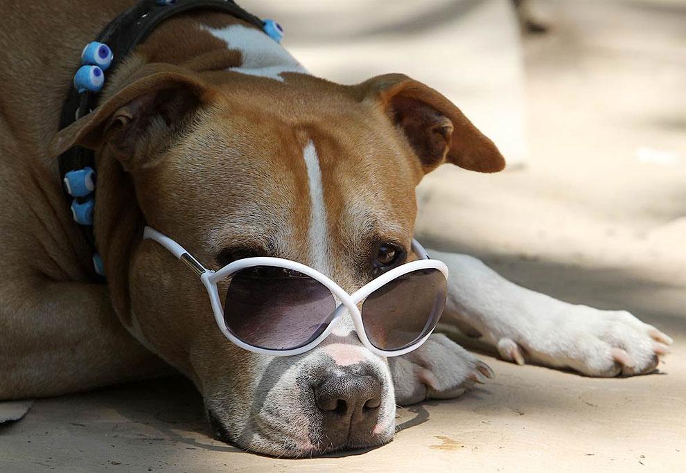 Собака в солнцезащитных очках вяло наблюдает за протестующими на площади Таксим в Стамбуле, Турция