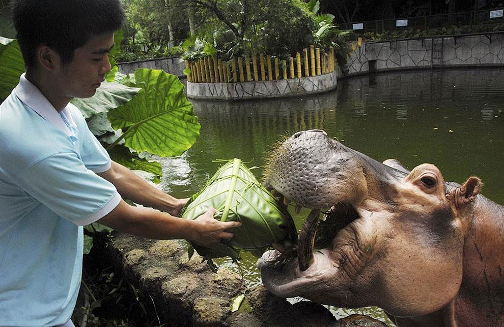 Смотритель парка дикой природы в Шэньчжэне, Китай кормит бегемота изысканным блюдом, сделанным из риса, завернутого в бамбуковые листья