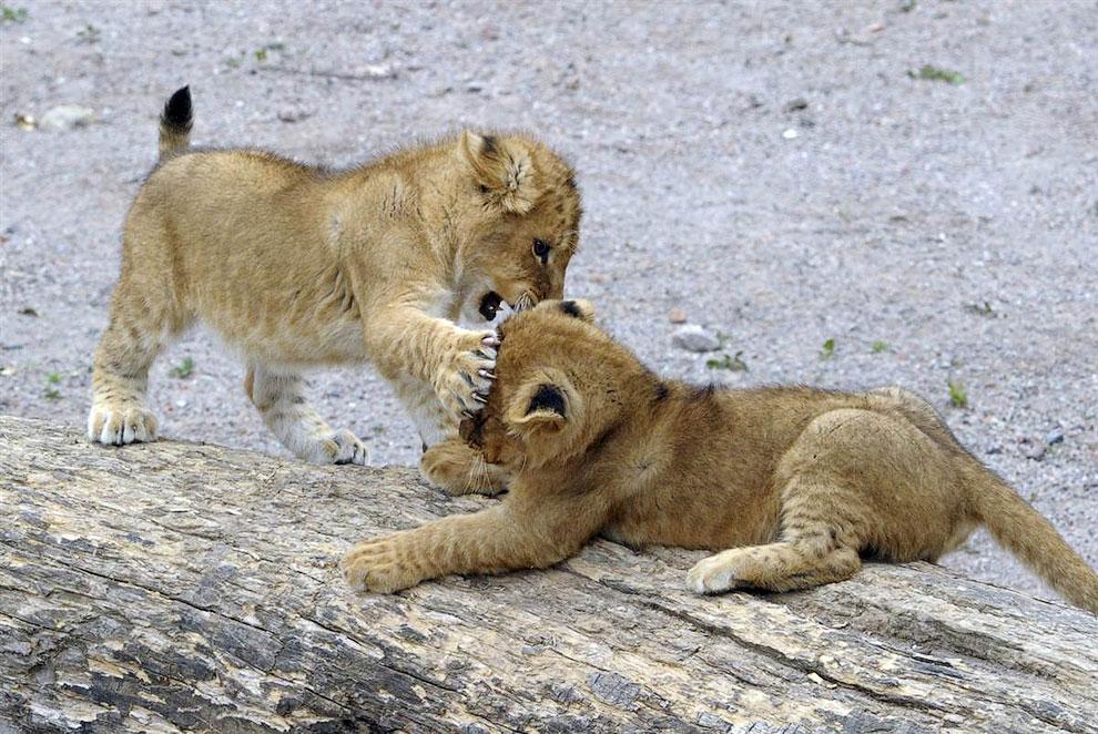 Маленькие львята в зоопарке в Бельгии