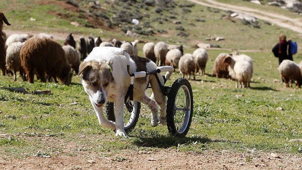 Иорданская пастушья собака по кличке Абайед