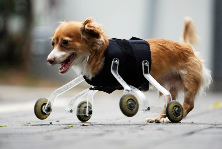 Собачка Хоппа, живущая в Тель-Авиве, родилась без передних конечностей