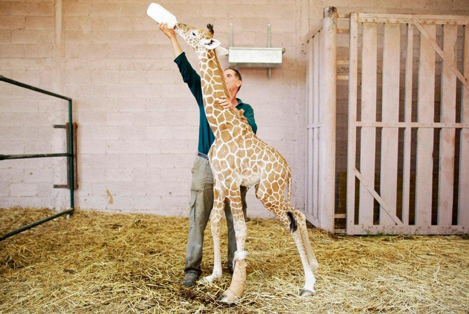 Жираф Дарвин родился в сафари-парке Израиля