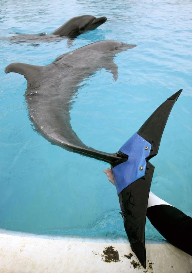Самка дельфина по кличке Фуджи потеряла 75% своего хвостового плавника в 2002 году