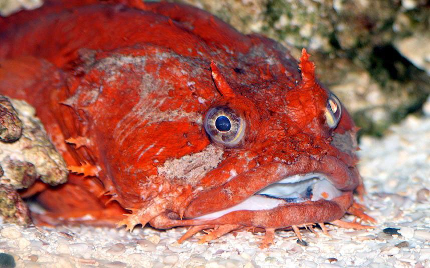 Рыба-жаба