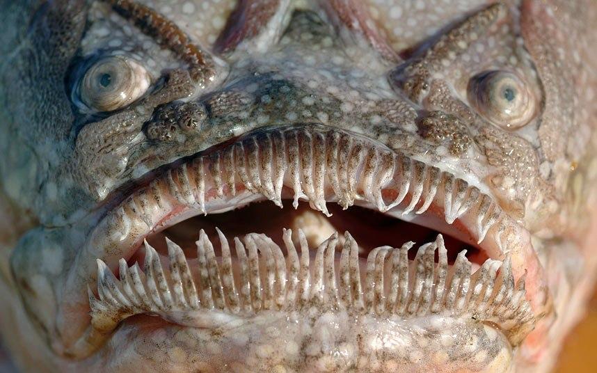 Рыба-звездочет