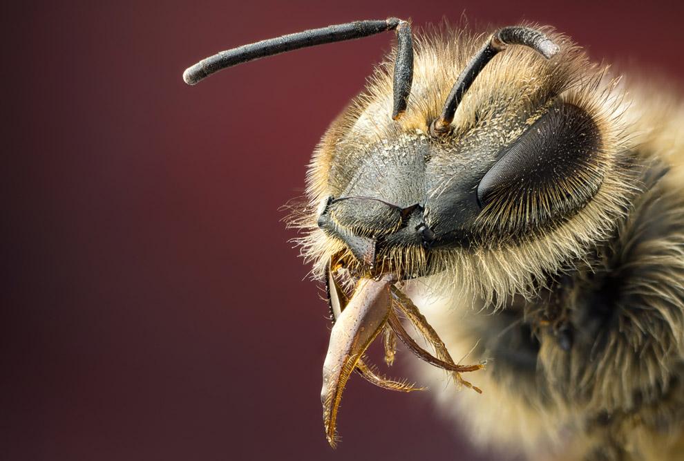 Пчела с язычком