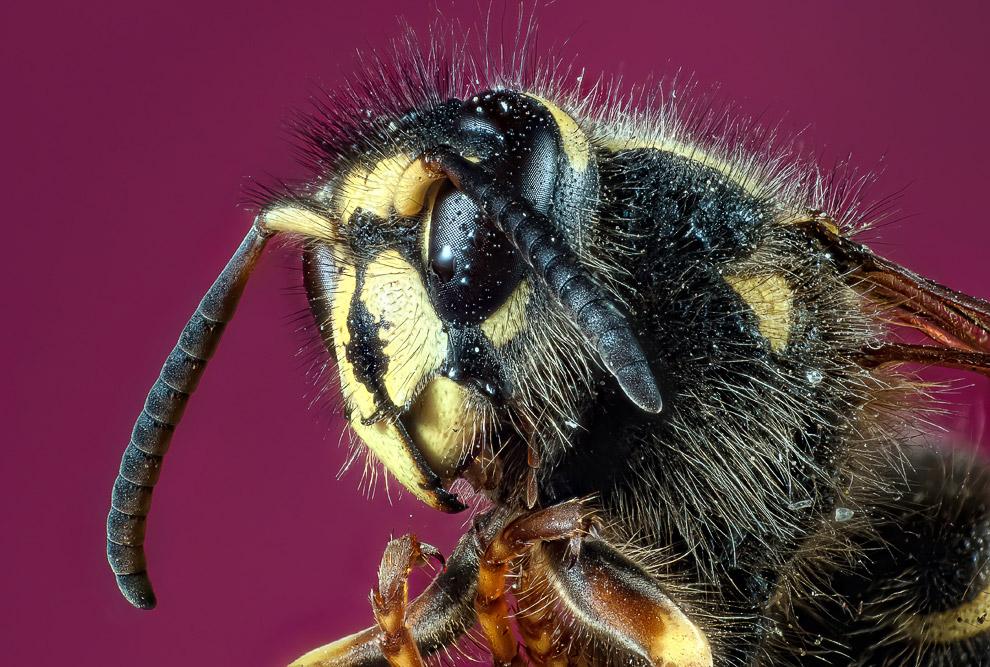 Мохнатая пчела