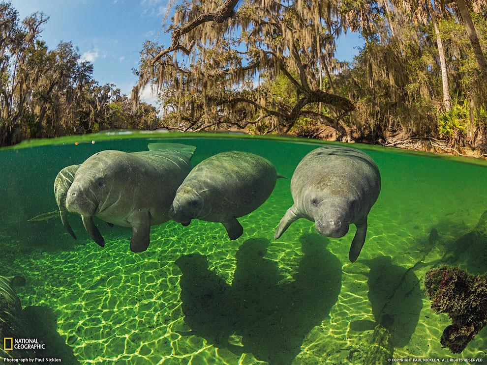 Ламантины, Флорида