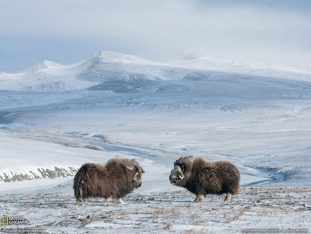 Овцебыки на острове Врангеля