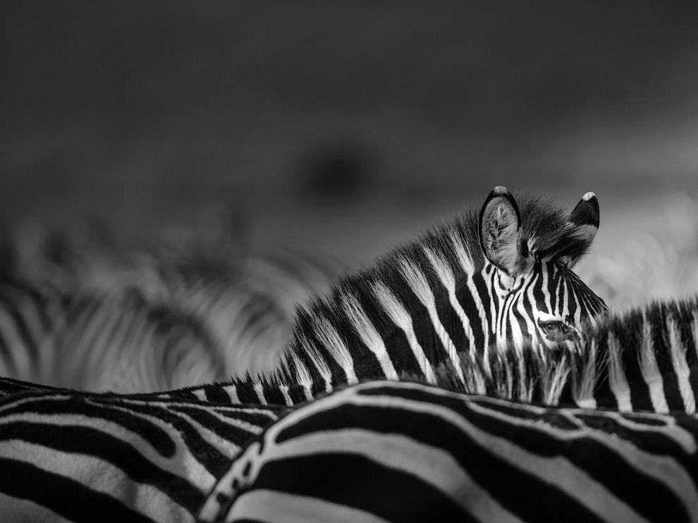 Зебра, Кения
