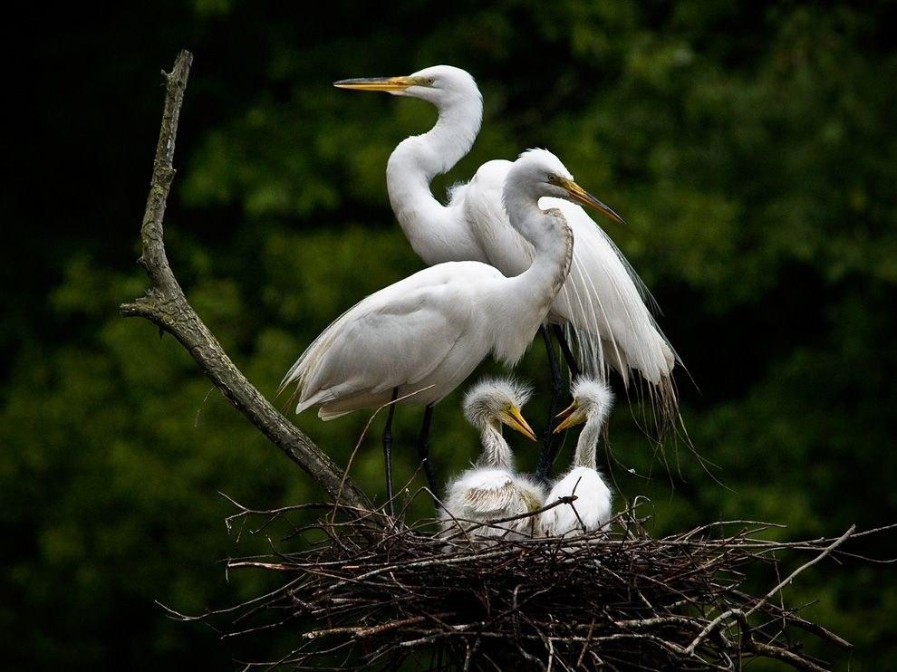 Белые цапли в гнезде