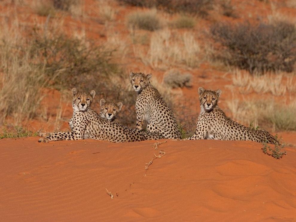 Гепарды, пустыня Калахари