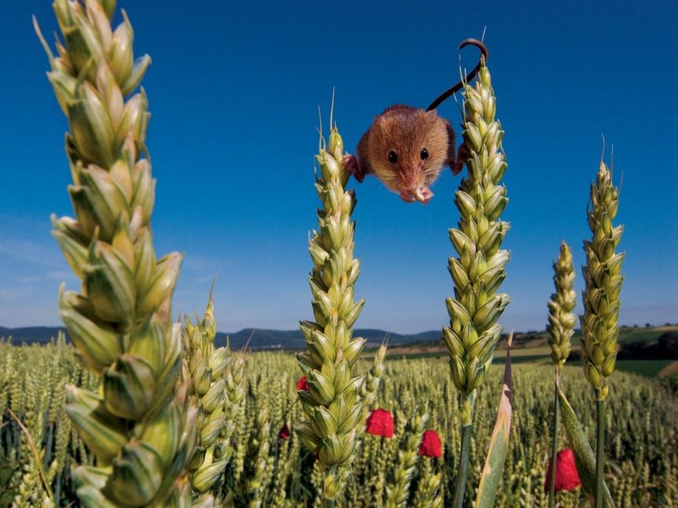 Полевая мышь, Франция