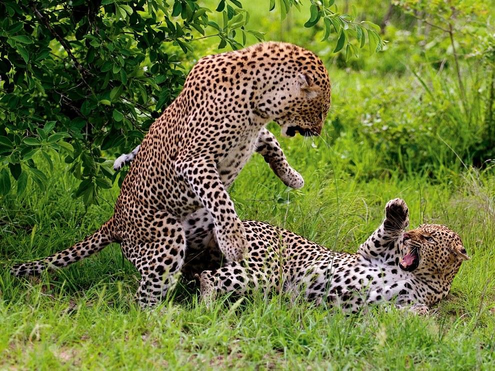 Леопарды, Ботсвана