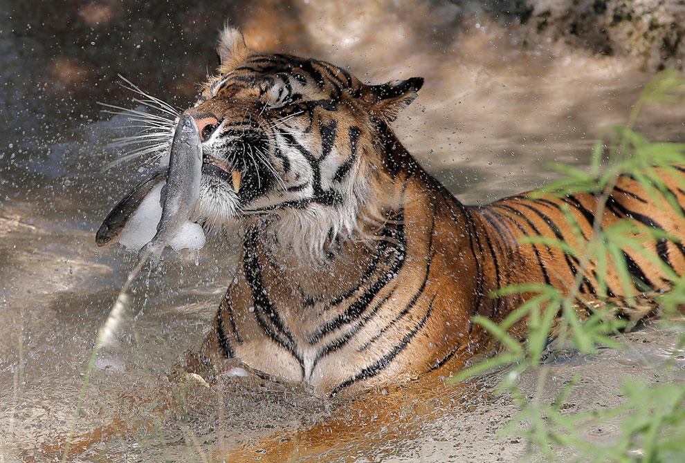 Тигр в зоопарке Феникса
