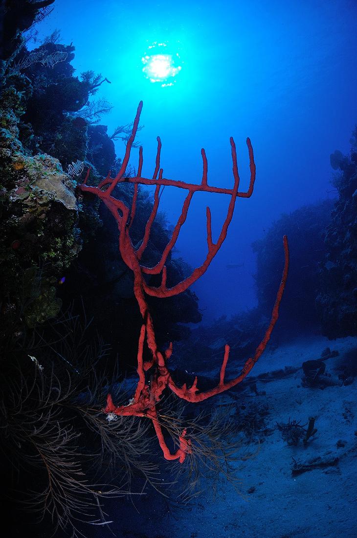 Типичный кубинский подводный пейзаж. Красная губка