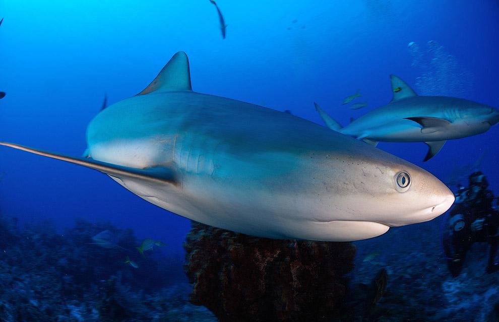 Карибские акулы