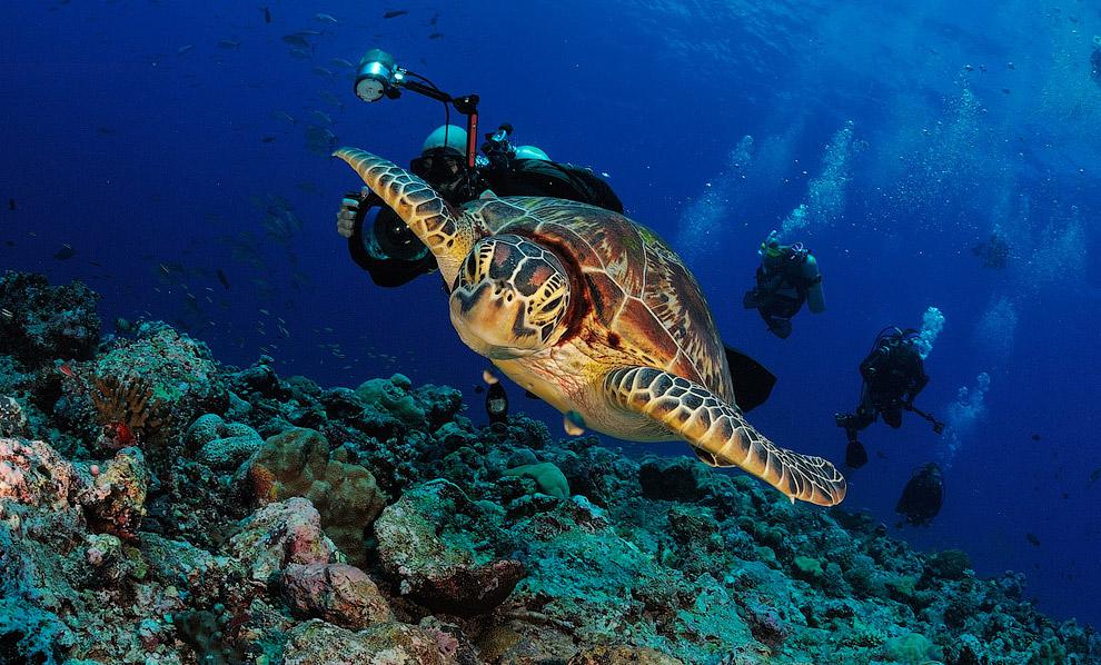 Черепаха и дайверы