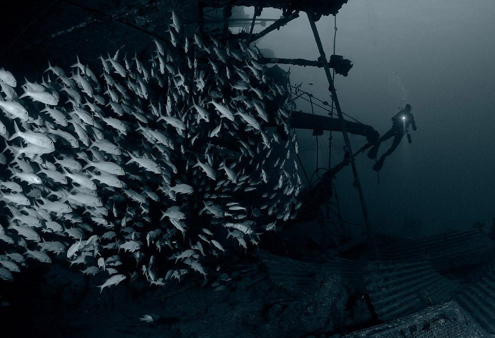 Стайка луцианов — окунеобразных рыб