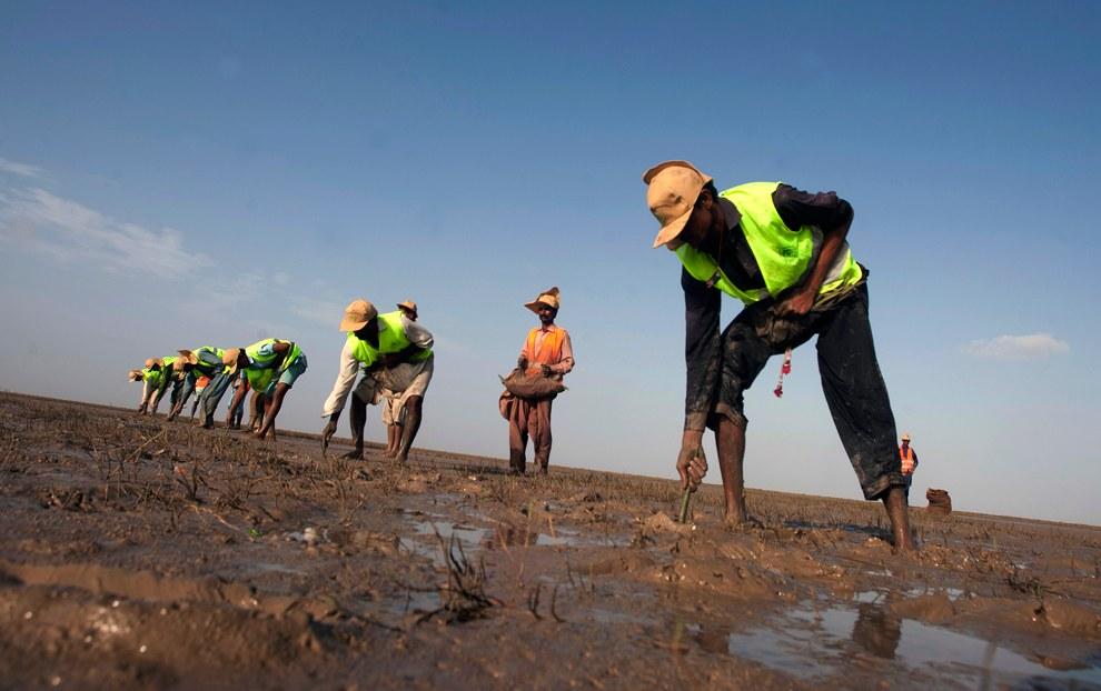 Около 300 добровольцев пытаются установить рекорд Гиннеса, пытаясь посадить 750 000 мангровых деревьев в течение дня