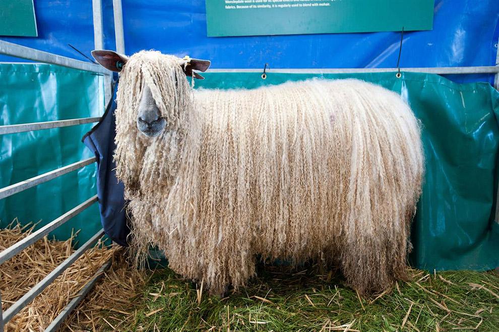 Овца редкой породы ожидает своего выхода на сельскохозяйственной выставке в Йоркшире, Англия