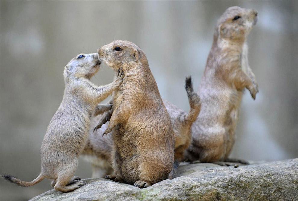 Луговые собачки — типичные представители животного мира прерии