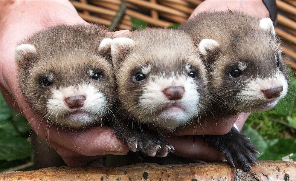Трое маленьких хорьков в зоопарке в Германии