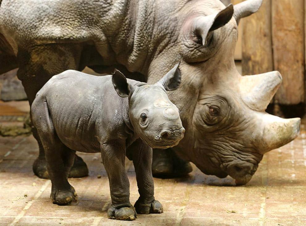 2-дневный носорог с мамой в зоопарке  в Крефельде, Германия