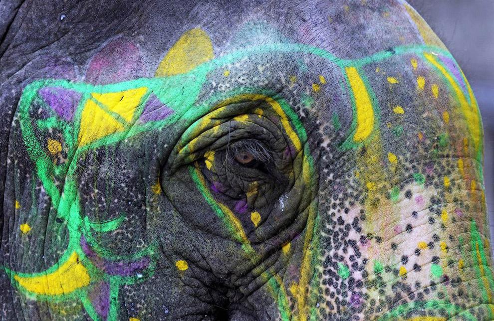 По сообщениям местных СМИ, в Индии есть более 3 400 одомашненных слонов в настоящее время