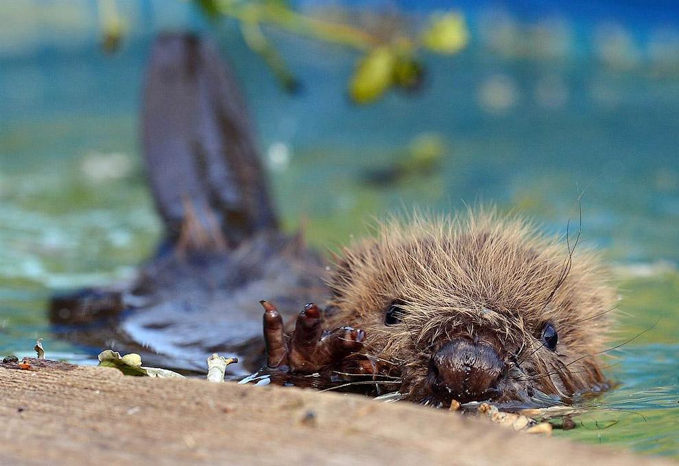 Любопытный 3-месячный бобер в германском зоопарке