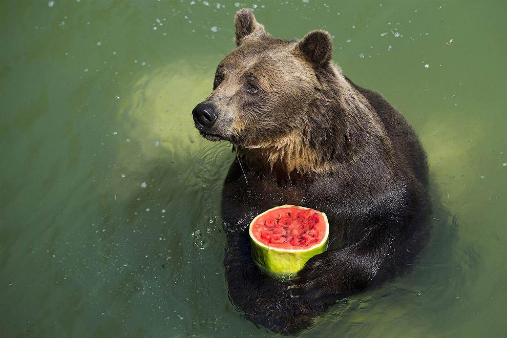 Работники римского зоопарке раздали животным замороженные, охлажденные фрукты, чтобы те охладились в жаркий день. Медведю достался арбуз