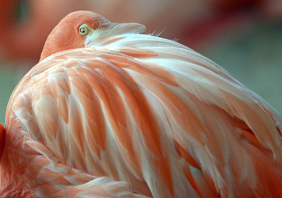 Фламинго разглядывает посетителей через плечо в зоопарке в Дуйсбурге, Германия