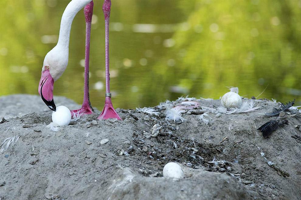 Фламинго ухаживает за яйцами в зоопарке в Базеле, Швейцария