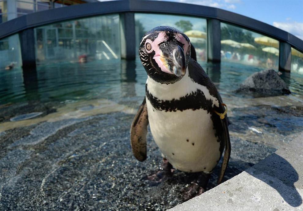 Пингвин Гумбольдта смотрит в камеру в зоопарке Люббенау, Германия