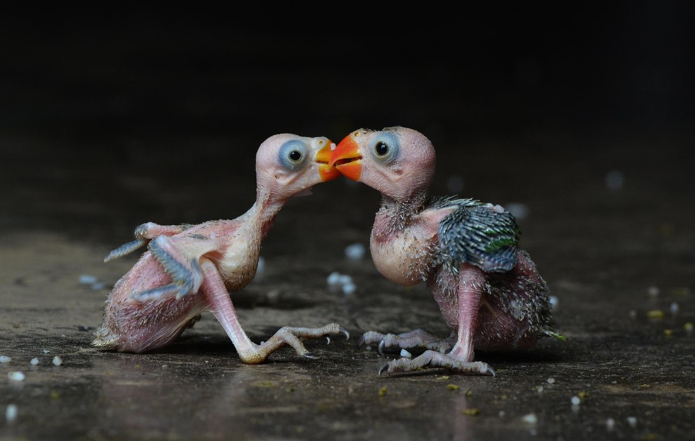 Пара птенцов индийских кольчатых попугаев
