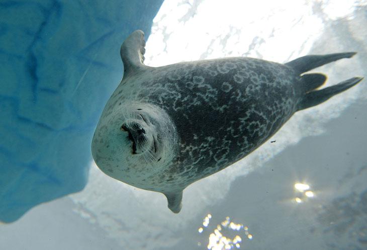 Тюлень в аквариуме в Осаке