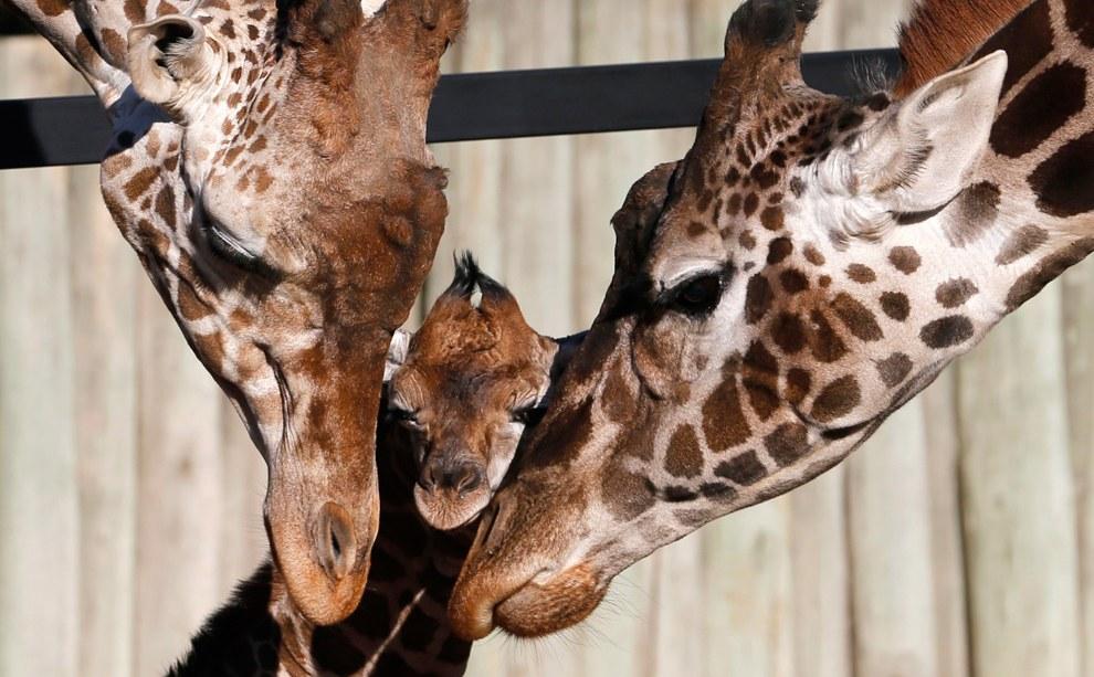 Семья жирафов