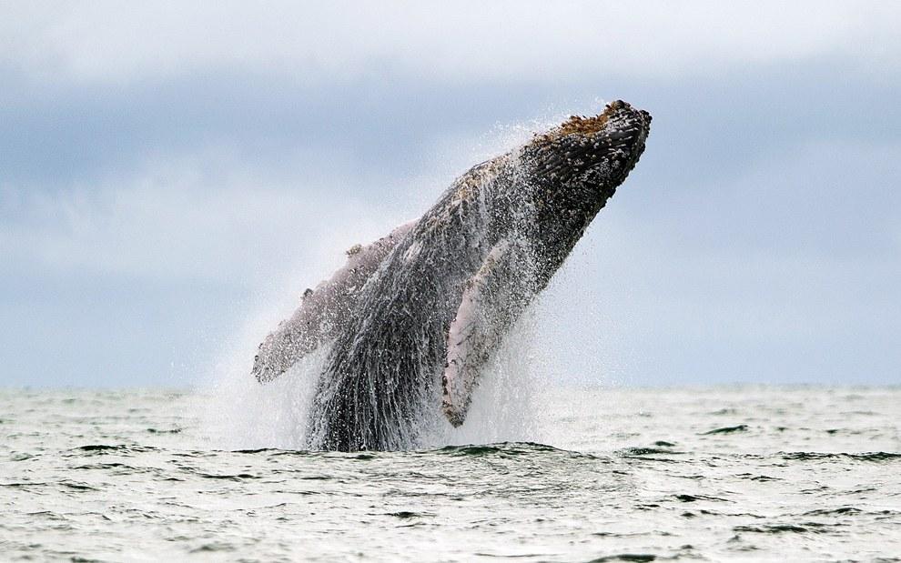 Горбатый кит в Тихом океане в Колумбии