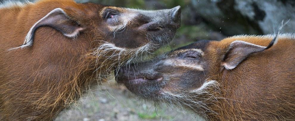 Две свиньи в зоопарке в Ганновере