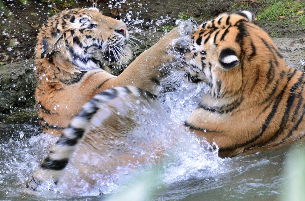 Два тигра играют в воде в зоопарке в Лейпциге, Германия