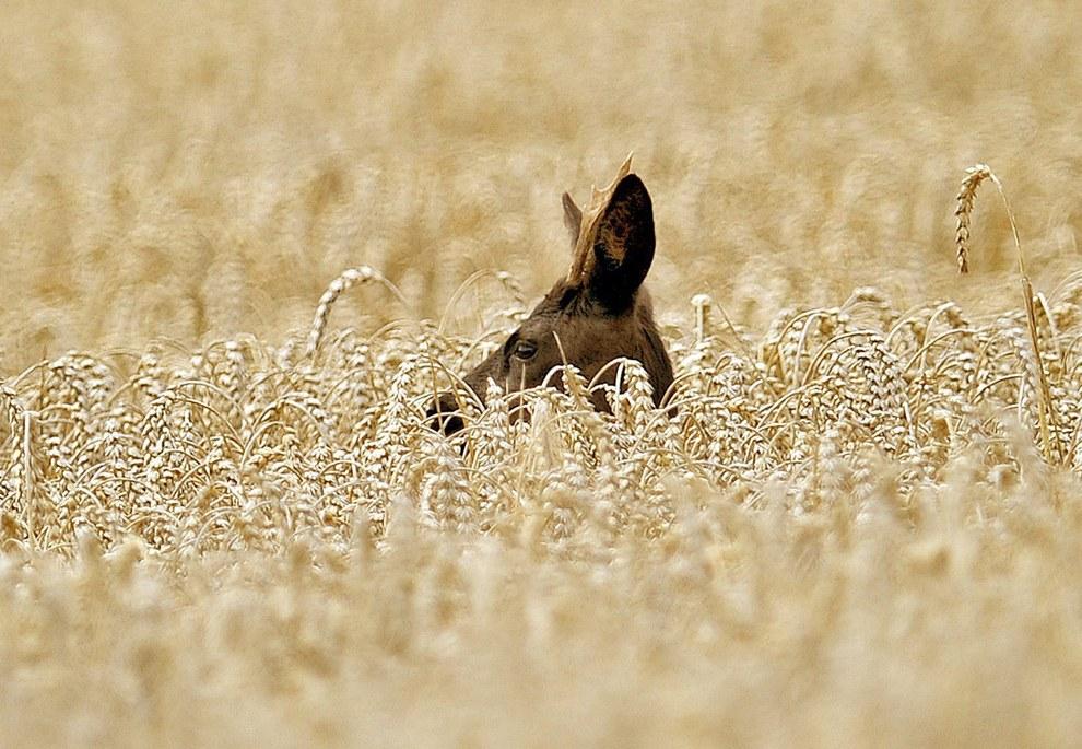 Олень в поле в Германии