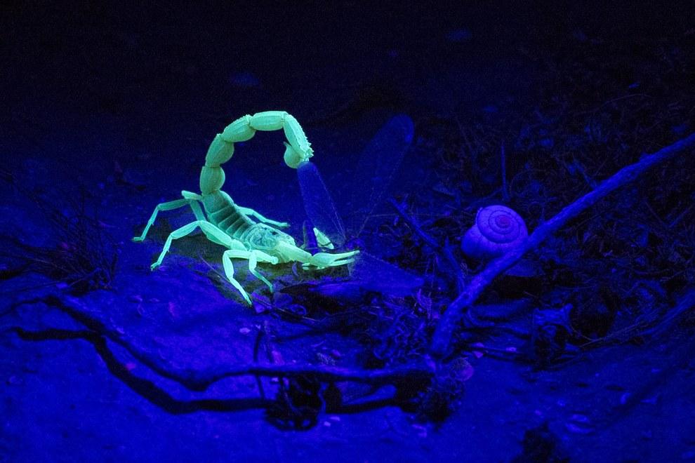 Желтый скорпион ест свою добычу