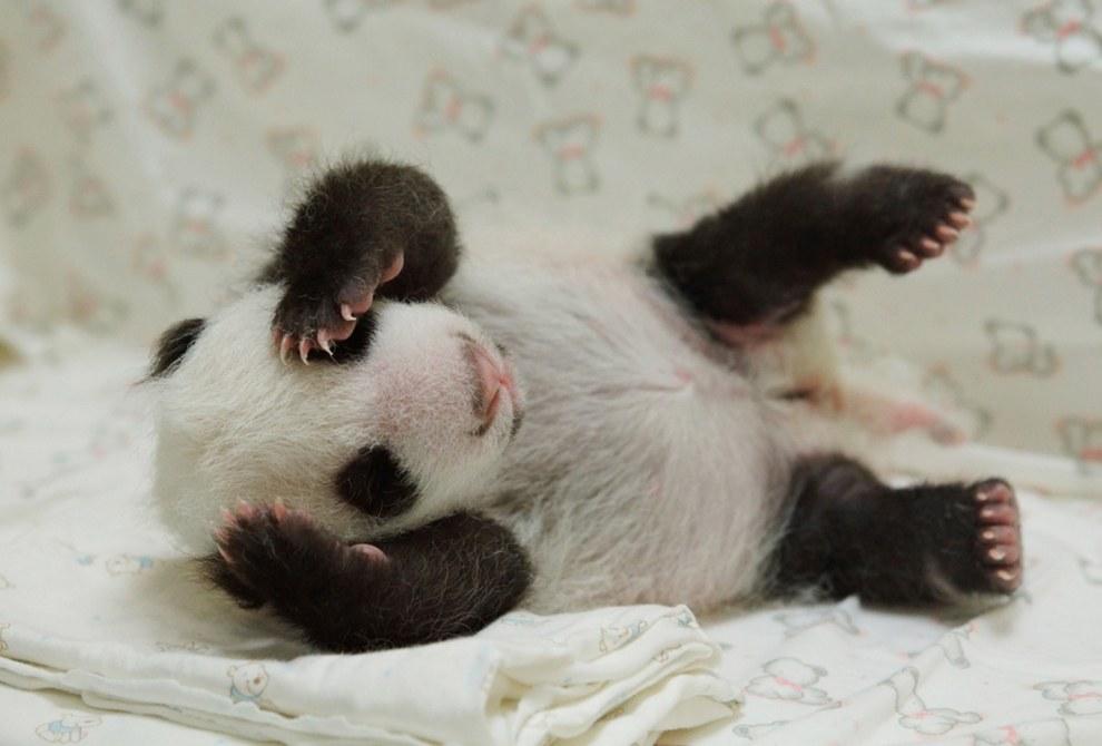 Новорожденный детеныш панды в зоопарке в Тайбэе